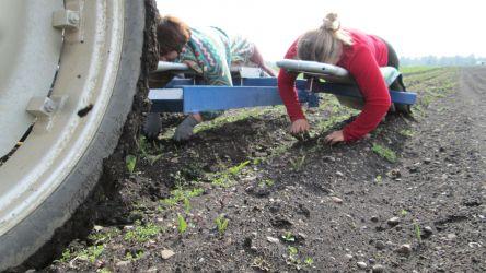 Beikrautzupfen auf dem Karottenfeld
